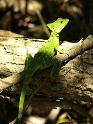 basilisk lizard in costa rica