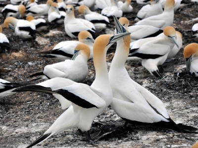 New Zealand Gannet Safari